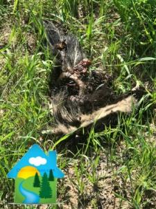 a dead skunk 225x300 - Pure Non-Scents Stops Skunk Odor